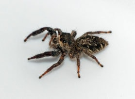Picture of Eris militaris (Bronze Jumper) - Female - Lateral