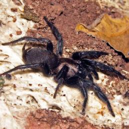 Featured spider picture of Euagrus mexicanus