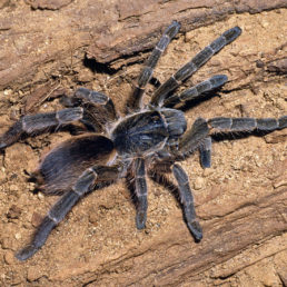 Featured spider picture of Eucratoscelus constrictus (African Red-rump Baboon Spider)