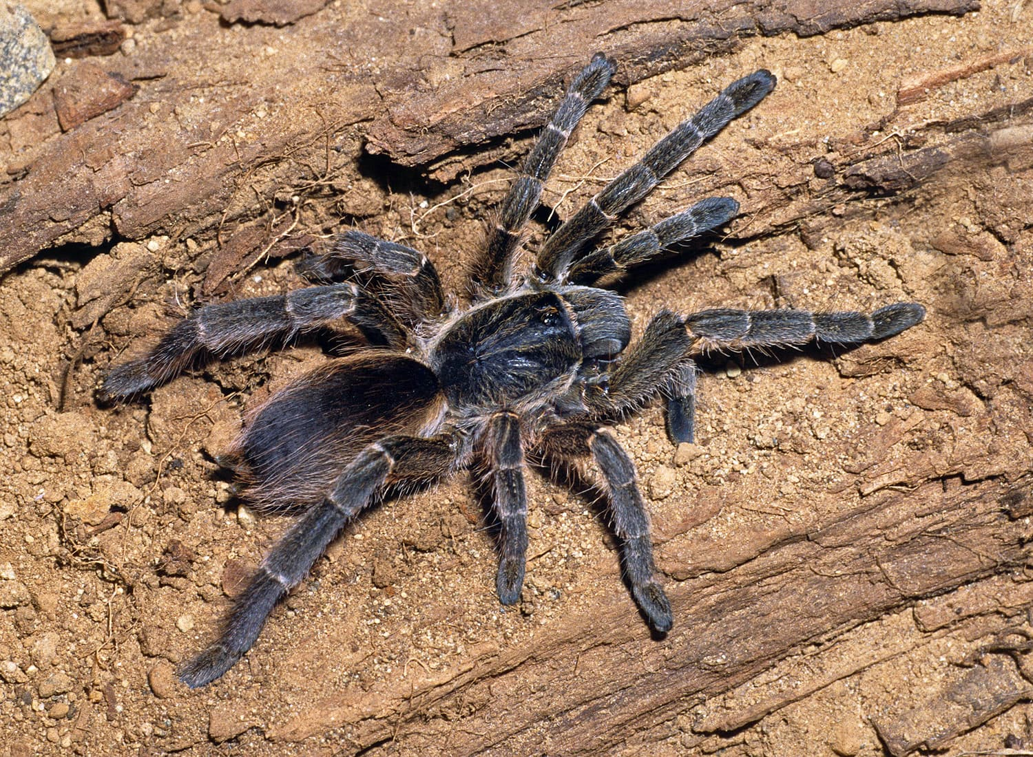 Picture of Eucratoscelus constrictus (African Red-rump Baboon Spider) - Female - Dorsal