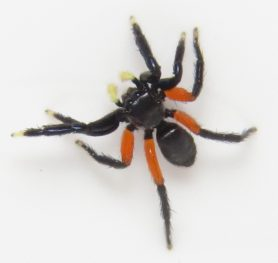 Picture of Euophrys monadnock - Male - Dorsal