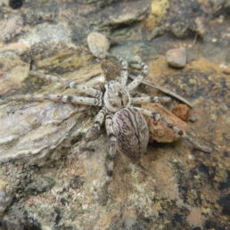 Featured spider picture of Eusparassus dufouri