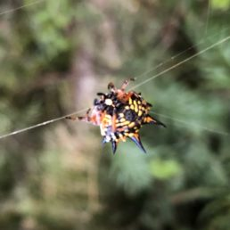 Featured spider picture of Austracantha minax (Jewel Spider)