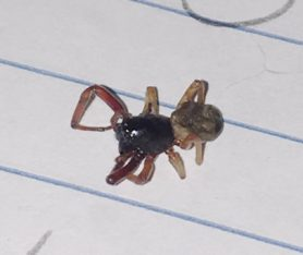 Picture of Trachelas tranquillus (Broad-faced Sac Spider)