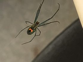 Picture of Leucauge spp. - Ventral