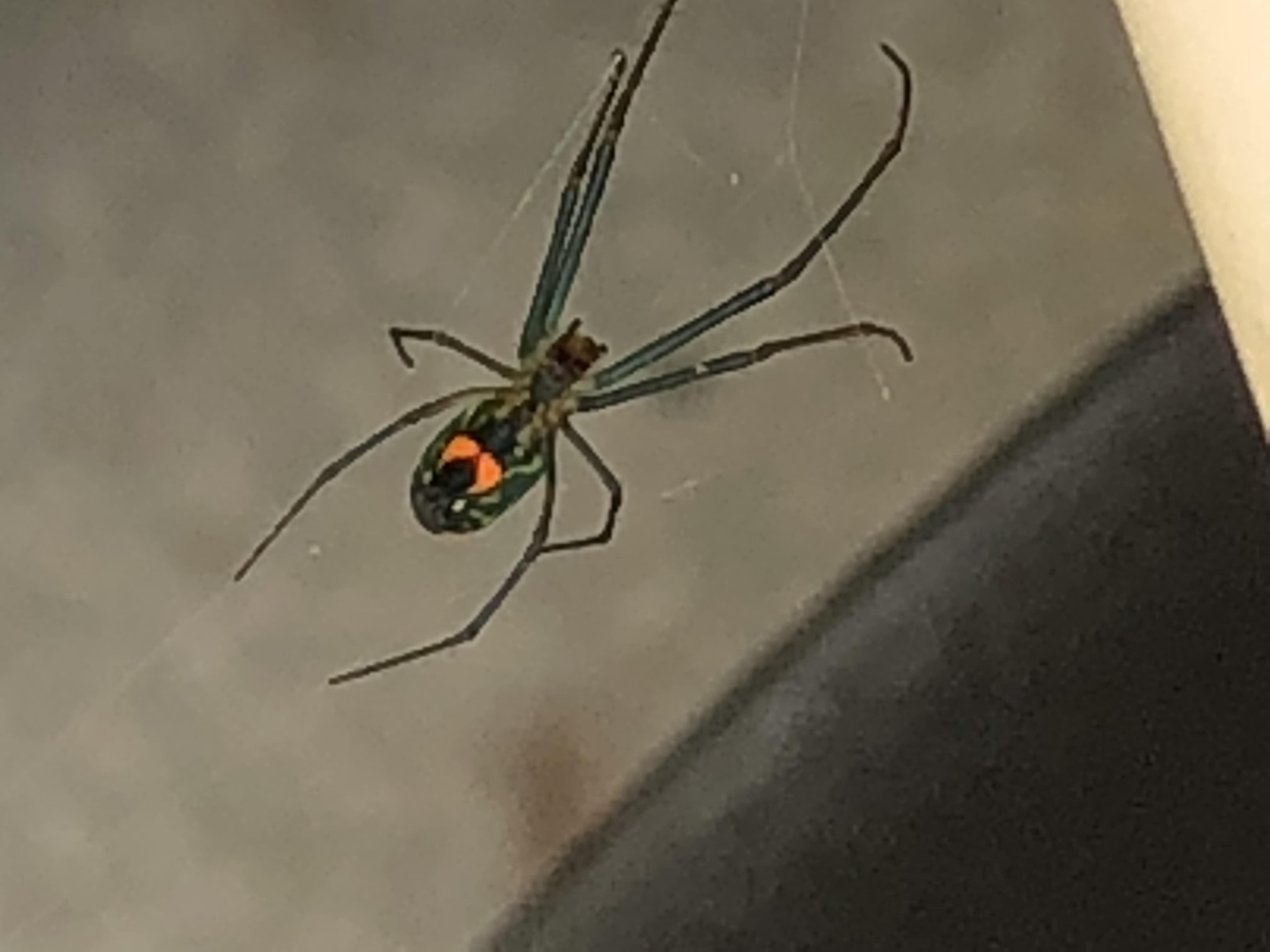 Picture of Leucauge (Silver Orb-weaver) - Ventral