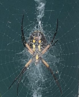 Picture of Argiope aurantia (Black and Yellow Garden Spider) - Ventral,Webs