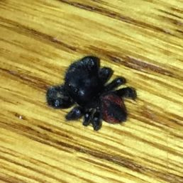 Featured spider picture of Phidippus johnsoni (Johnson Jumping Spider)