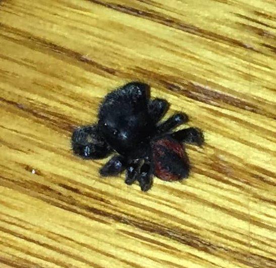Picture of Phidippus johnsoni (Johnson Jumping Spider) - Dorsal