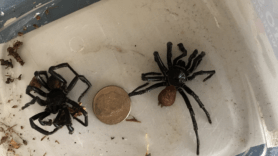 Picture of unidentified spider - Male - Dorsal