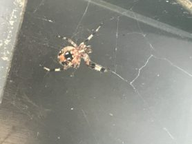 Picture of Neoscona spp. (Spotted Orb-weavers) - Ventral