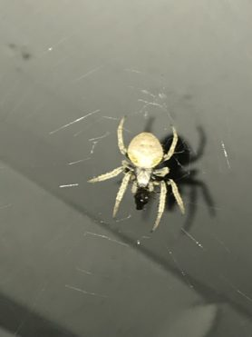 Picture of Eriophora ravilla (Tropical Orb-weaver) - Dorsal,Webs,Prey