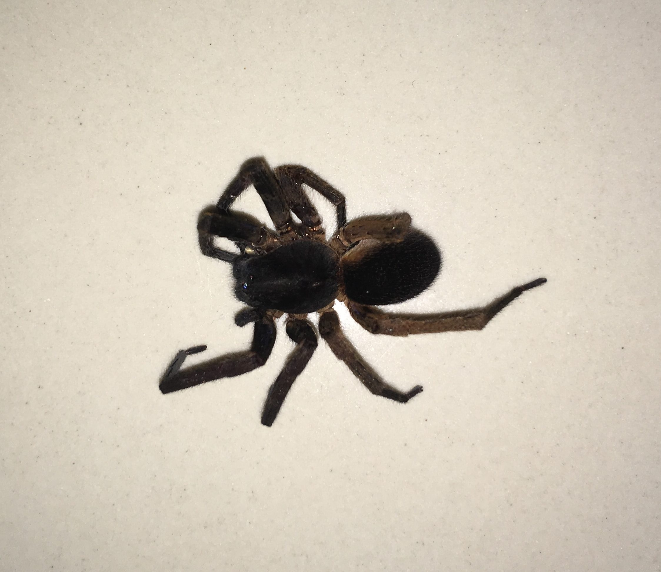 Picture of Ctenus (Tropical Wolf Spiders) - Dorsal