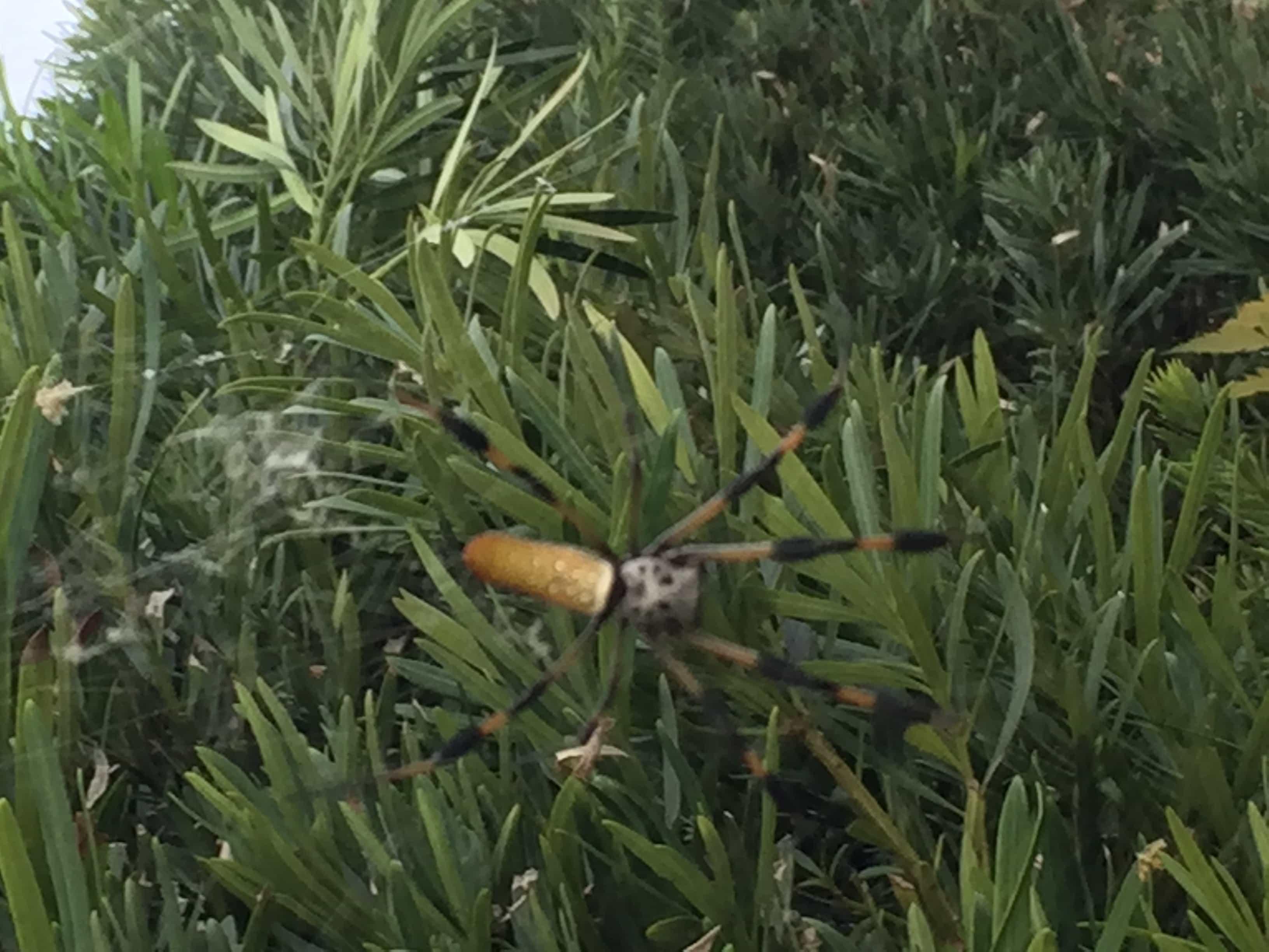 Picture of Trichonephila clavipes (Golden Silk Orb-weaver) - Female - Dorsal