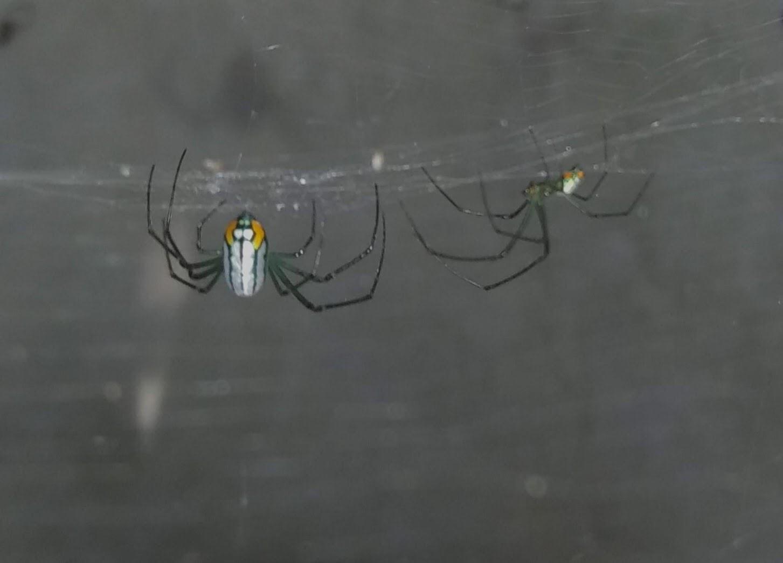 Picture of Leucauge argyrobapta (Mabel Orchard Orb-weaver) - Dorsal,Lateral,Webs