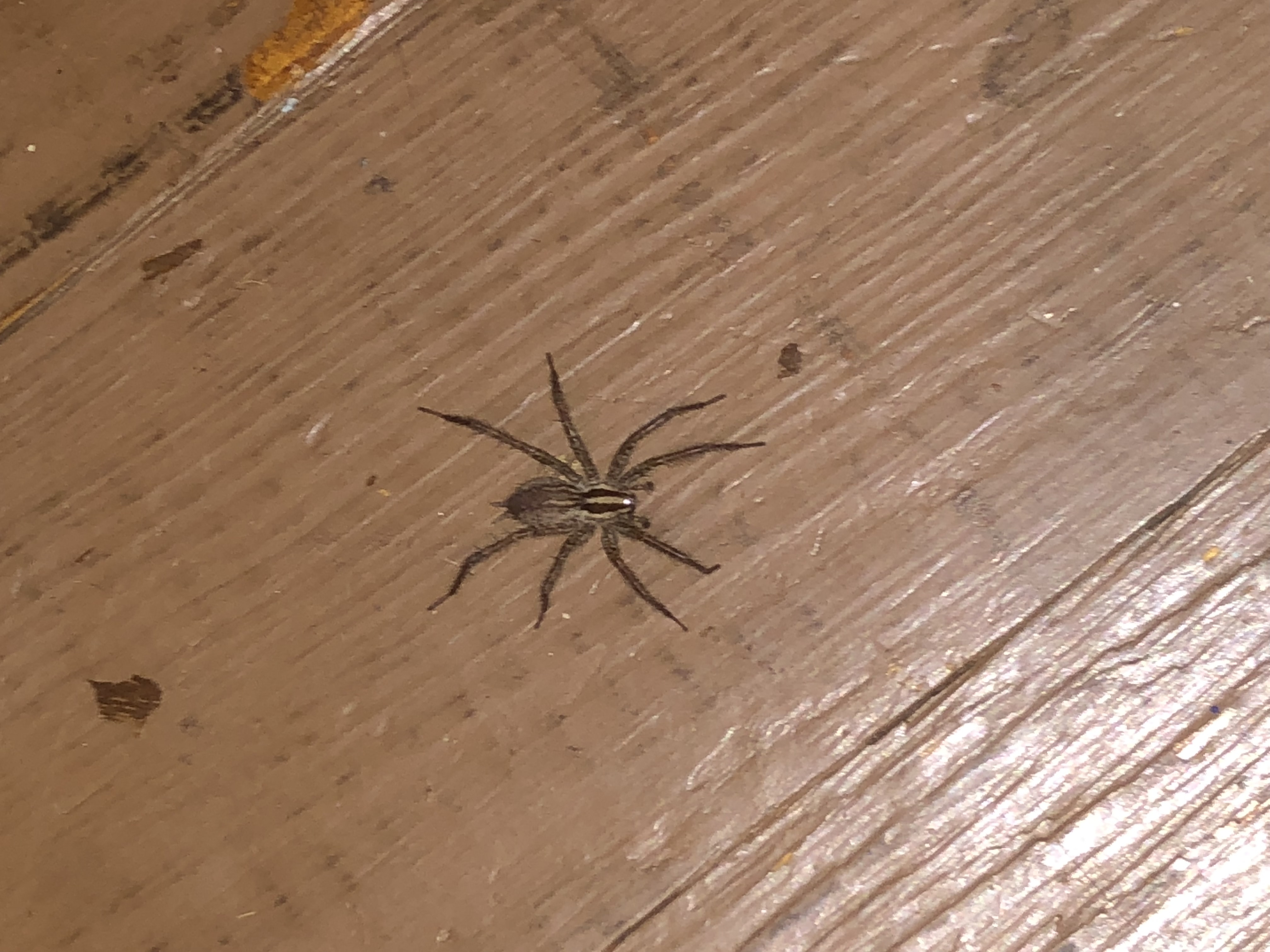 Picture of Agelenopsis (Grass Spiders) - Dorsal