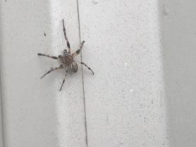 Picture of Larinioides cornutus (Furrow Orb-weaver) - Male - Dorsal
