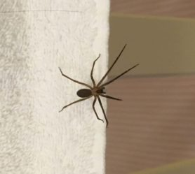 Picture of Loxosceles reclusa (Brown Recluse)