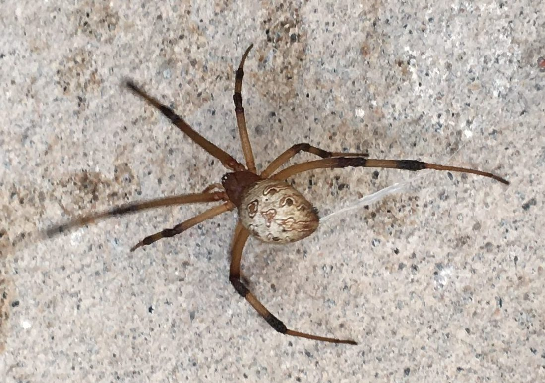 Picture of Latrodectus geometricus (Brown Widow Spider) - Dorsal