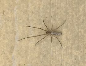 Picture of Tetragnatha spp. - Dorsal