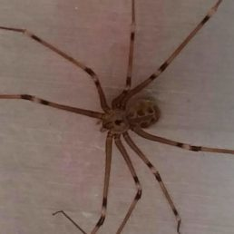 Featured spider picture of Artema atlanta (Giant Daddy-long-legs Spider)