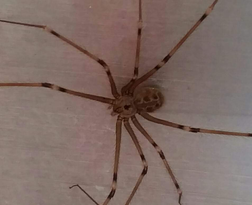 Picture of Artema atlanta (Giant Daddy-long-legs Spider) - Dorsal