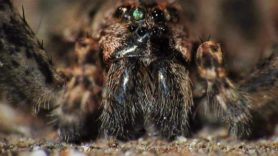 Picture of Dolomedes tenebrosus (Dark Fishing Spider) - Eyes