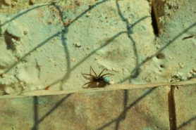 Picture of Lycosidae (Wolf Spiders) - Female - Dorsal,Egg Sacs