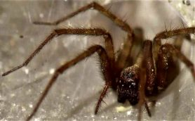 Picture of Tegenaria domestica (Barn Funnel Weaver) - Female - Eyes,Webs