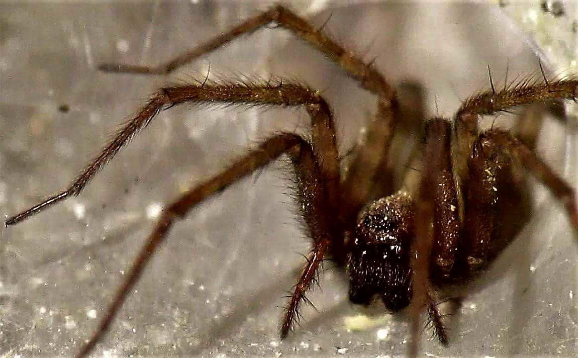 Picture of Tegenaria domestica (Barn Funnel Weaver) - Female - Eyes,Webs