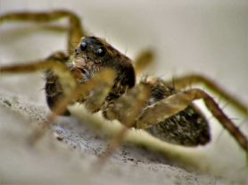 Picture of Pardosa spp. (Thin-legged Wolf Spiders) - Male - Eyes,Lateral