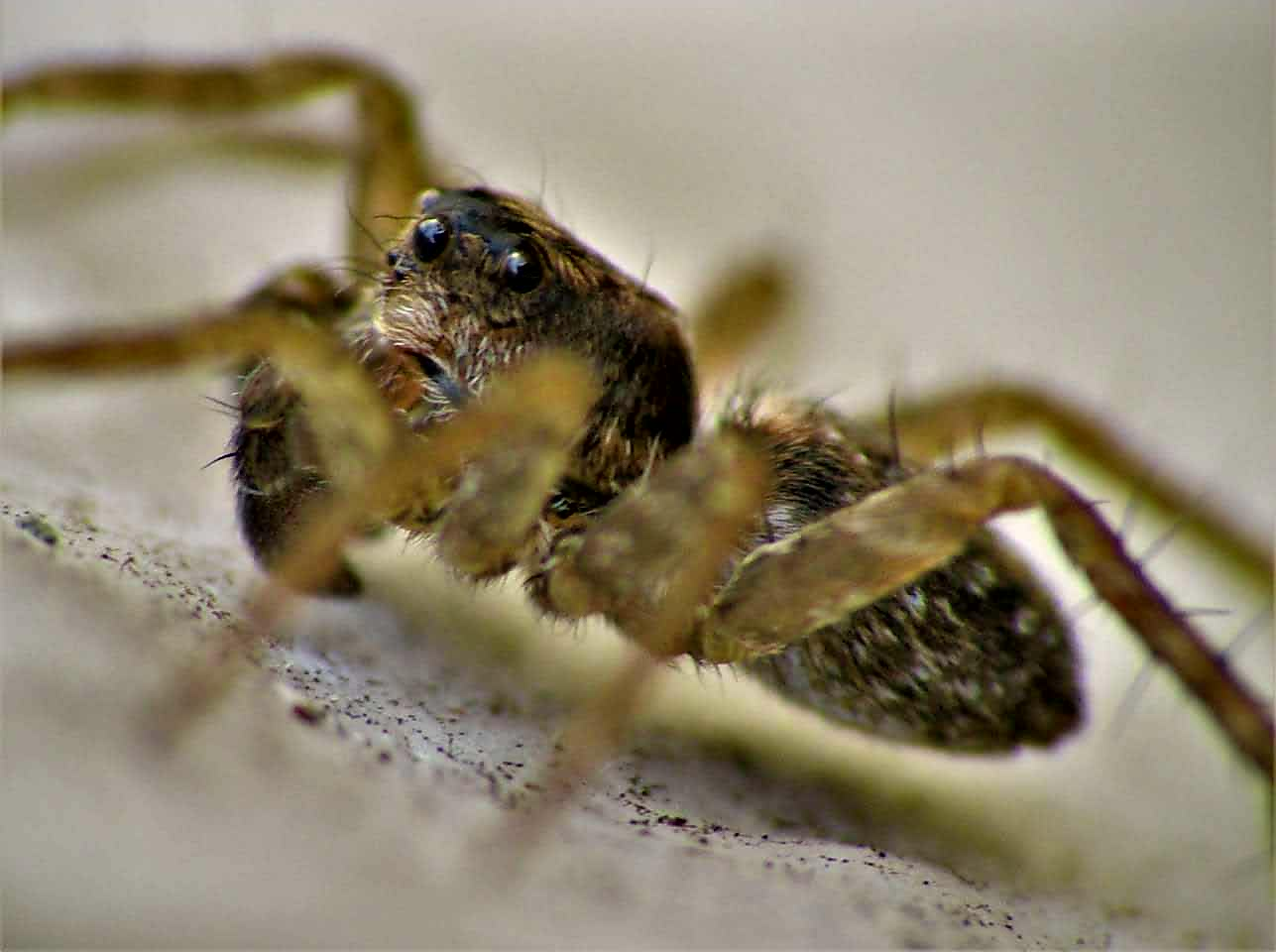 Picture of Pardosa (Thin-legged Wolf Spiders) - Male - Eyes,Lateral