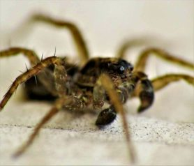 Picture of Pardosa spp. (Thin-legged Wolf Spiders) - Male - Eyes