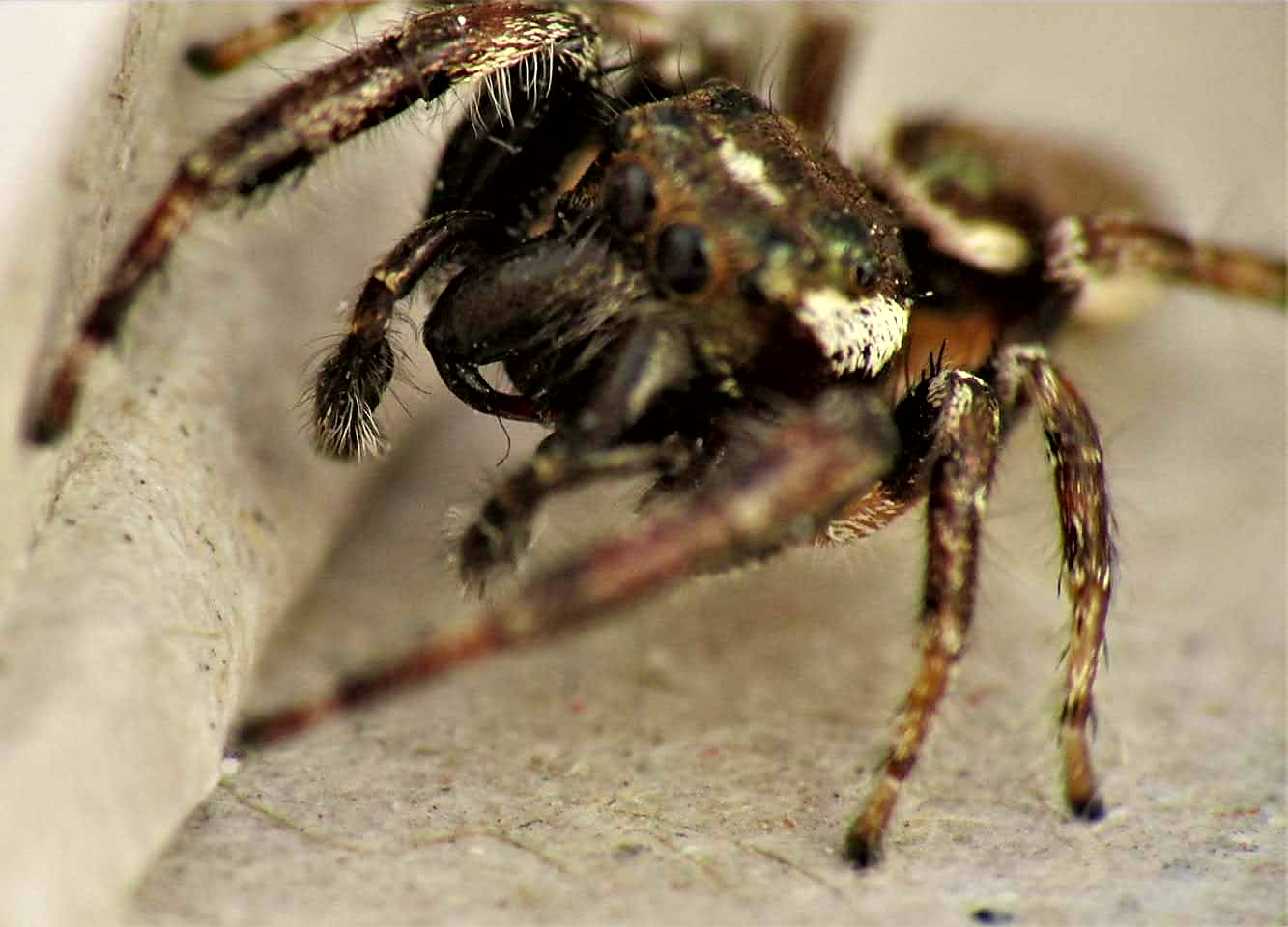 Picture of Eris militaris (Bronze Jumper) - Male - Lateral