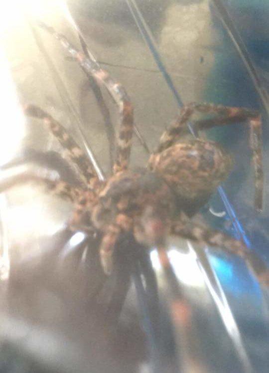 Picture of Dolomedes tenebrosus (Dark Fishing Spider) - Dorsal