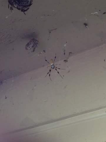 Picture of Trichonephila clavipes (Golden Silk Orb-weaver) - Dorsal