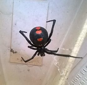 Picture of Latrodectus mactans (Southern Black Widow) - Female - Dorsal
