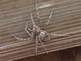 Picture of Dolomedes spp. (Fishing Spiders) - Dorsal