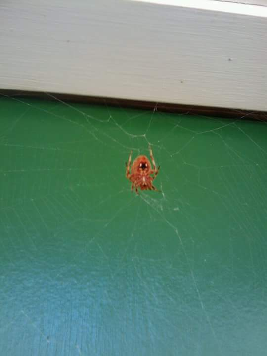 Picture of Neoscona (Spotted Orb-weavers) - Ventral,Webs