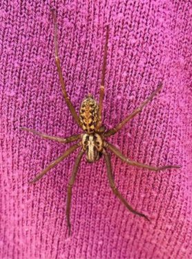 Picture of Eratigena duellica (Giant House Spider) - Dorsal