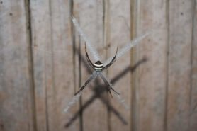 Picture of Argiope versicolor - Dorsal,Webs