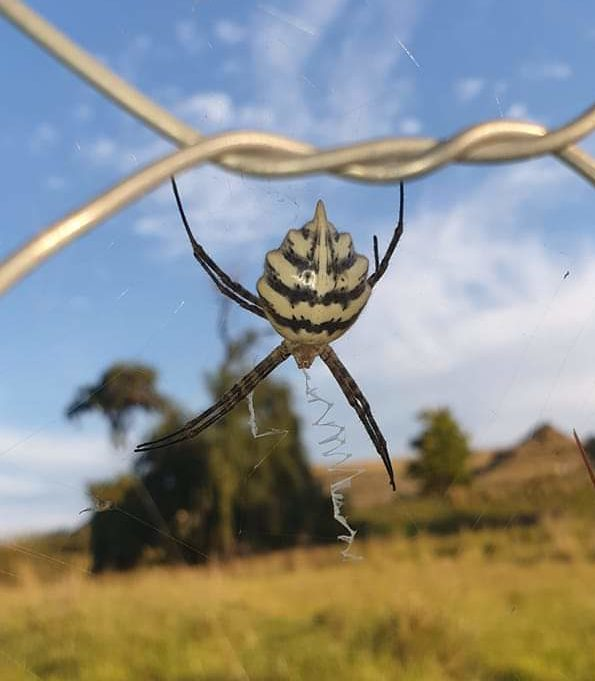Picture of Argiope australis - Dorsal,Webs