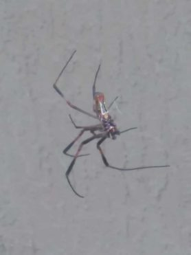 Picture of Trichonephila clavipes (Golden Silk Orb-weaver) - Ventral