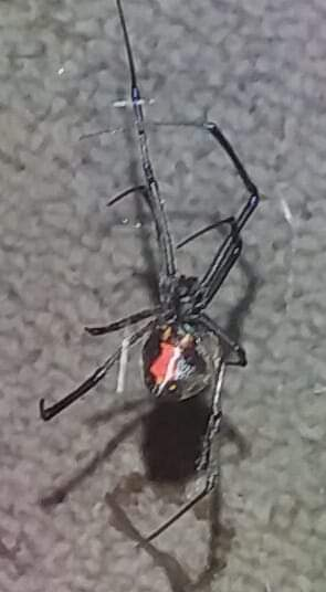 Picture of Latrodectus mactans (Southern Black Widow) - Female - Ventral