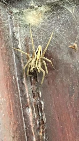 Picture of Pisaura mirabilis (European Nursery Web Spider) - Male - Dorsal
