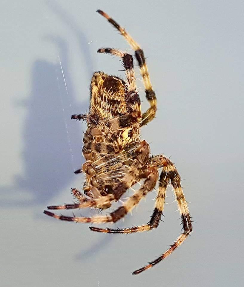 Picture of Araneus diadematus (Cross Orb-weaver) - Lateral