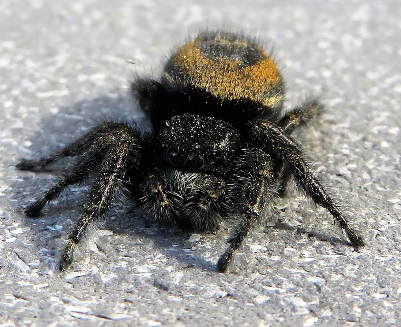 Picture of Phidippus johnsoni (Johnson Jumping Spider) - Dorsal,Eyes
