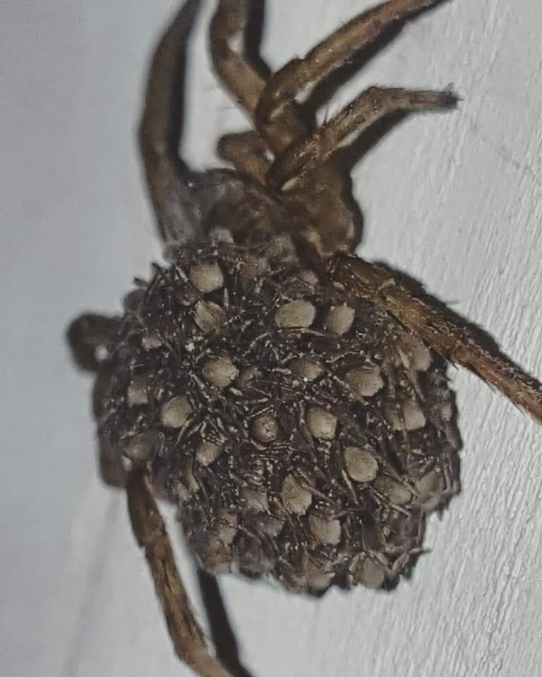 Picture of Trochosa terricola - Female - Spiderlings
