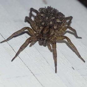 Picture of Trochosa terricola - Female - Dorsal,Eyes,Spiderlings