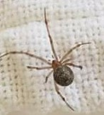 Picture of Parasteatoda tepidariorum (Common House Spider)